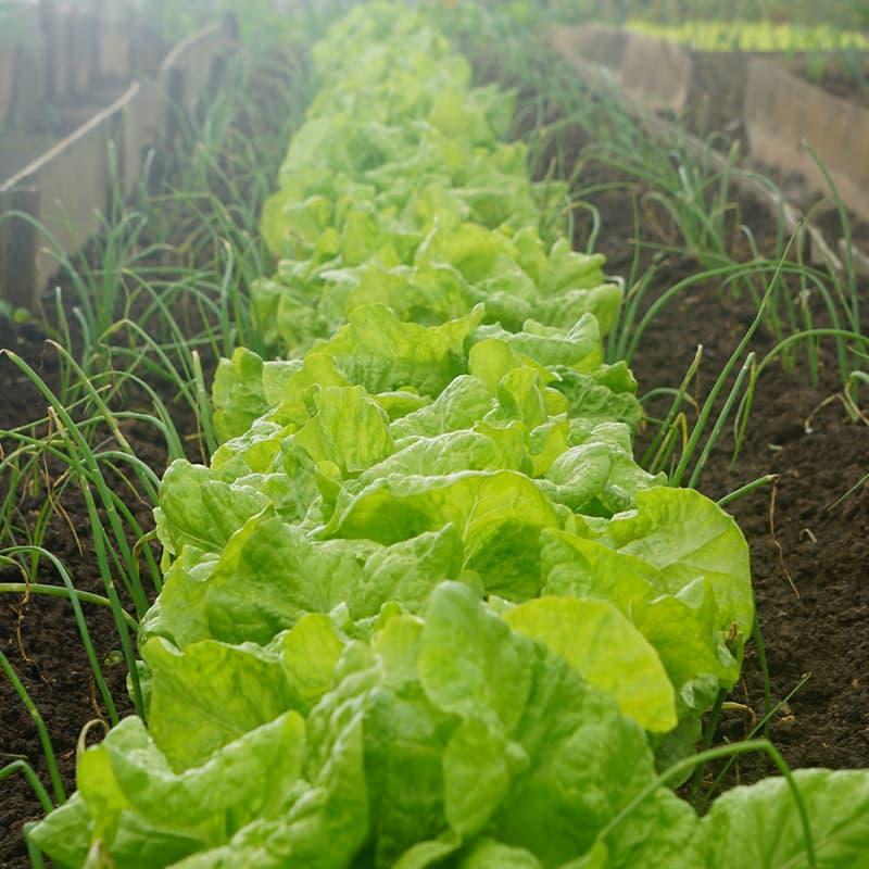 Salatpflanzen in einem Beet