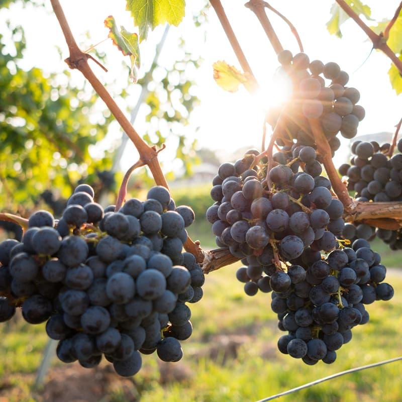 Rote Weintrauben an der Rebe