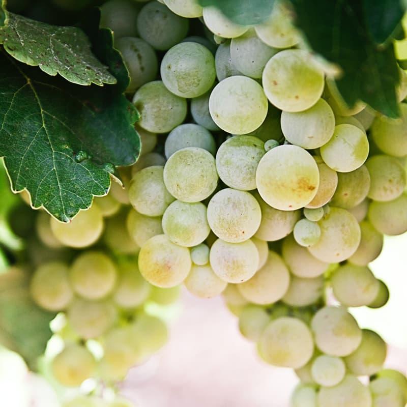 Weiße Weintrauben an der Rebe