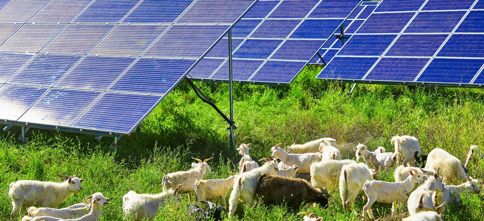 Eine Tierherde vor einer Solaranlage