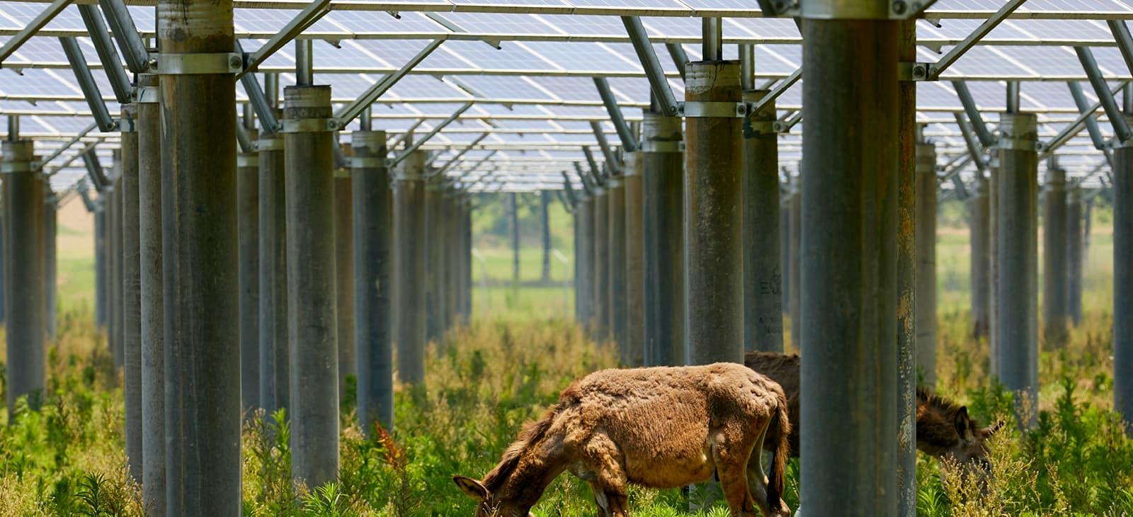 Eine Kuh zwischen Sonnenkollektoren
